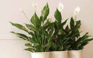 Спатіфіллум — догляд в домашніх умовах, пересадка, полив і лікування кімнатної квітки